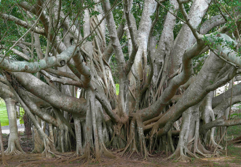 Requiem for 'The Great Banyan Tree'